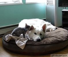 Sleepy Dog Annoyed By Adorable Kitten! | Gif Finder – Find and Share funny animated gifs