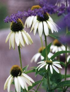 White Coneflower. Shorter than purple coneflowers, but just as showy. The snow white reflexed petals surround a large green cone. White Swan flowers over a long period and will gradually spread to cre
