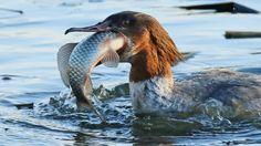 Woensdag 14 januari 2015: Een grote zaagbek verorbert een vis in een rivier in de stad Gangneung in Zuid-Korea.