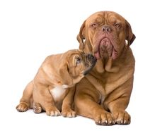 Dogue de Bordeaux Puppies For Sal Best Puppies, Puppies For Sale, Best Dogs, French Mastiff Dog, Mastiff Dogs, Best Dog Toys, Losing A Dog, Mammals, Dog Breeds