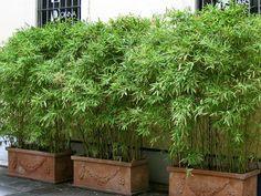 bambus auf balkon als sichtschutz