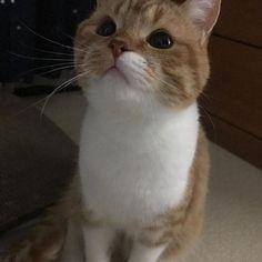 オスですがたまに篠崎愛のような顔をします。 . . 今日みたいに飼主がOLらしく理不尽に叱られて帰ってきても、ふたばは特に慰めに来るわけではありません。いつも通りカリカリをちょろりと食べては、ごろんと寝て、たまに甘えに来る。 その感じが落ち着くよ(`・ω・´)猫バンザイなんだよ!!! でも今日はいつもよりモフらせて。。。 . . ふ🐱『世のしなびたOLたちに幸あれ!!』 . . .  #猫 #ねこ #ネコ #子猫 #愛猫 #スコティッシュフォールド #スコティッシュフォールド立ち耳 #オス #猫部 #猫好きさんと繋がりたい #猫好きさんと仲良くなりたい #肥大型心筋症