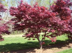 Japanese Maple -- Nathan's dream tree to replace the stupid crab apple in our front yard.