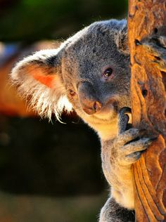 Koala. And...$100,000 USD: THAT'S WHAT I'LL GIVE YOU as a finders fee. Just show your contacts my Australian HOME FOR SALE site www.australiahous... & if they buy my home ($4.8 million AUD) you get that $100k. OR, you buy my home and CHANGE YOUR LIFE! (Currency Converter: www.xe.com) A contract can be drawn up at time of sale to protect your interest. So alert your Pinterest/Facebook/Twitter/Texting crew - because I really want to give YOU that money, or a NEW LIFE! xo.