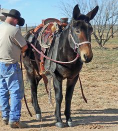 Rancho Santiago Mules for Sale Mulita Animal, Western Riding, Western Art, Draft Mule, Wild Horses Running, Work With Animals, Horse Gear, Horses And Dogs, Horse World