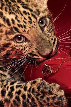 Leopard by Cartier Mundo Animal, My Animal, Maine Coon, Beautiful Cats, Animals Beautiful, Big Cats, Cats And Kittens, Leopard Cub, Leopard Kitten