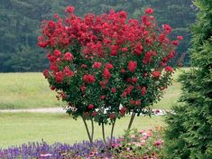 A well-pruned crepe myrtle tree is an excellent centerpiece for a beautiful yard. However, the way you prune and maintain your crepe myrtle trees makes the difference between an average looking tree and one that is genuinely stunning. Flowering Trees, Trees And Shrubs, Red Flowers, Beautiful Flowers, Flowers Garden, Fast Growing Shade Trees, Lagerstroemia, Myrtle Tree, Bonsai Plants