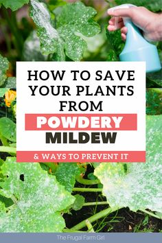 Powdery mildew is a problem many gardeners encounter, but it doesn't have to ruin your vegetable garden if you can commit to taking action to eliminate it or manage it so it doesn't cause damage to your plants. Here are ways to get rid of it now. Get Rid Of Mold, How To Get Rid, Backyard Farming, Backyard Landscaping, Planting Vegetables, Vegetable Garden, Gardening For Beginners, Gardening Tips, Powdery Mildew