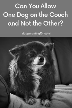 Do your dogs fight over a place on the couch? Can you allow one of them on and not the other? Should any of them even be sitting on the couch? #dogtraining #dogtraininghelp #trainyourdog Pet Sitters International, Living With Dogs, Dog Couch, Group Of Dogs, Buy A Dog, Cute Dog Photos, Dog Blanket, Dog Shedding, Dog Fighting