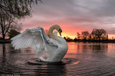 Photography Competitions, Photography Contests, Wildlife Photography, Animal Photography, Beautiful Birds, Animals Beautiful, Cute Animals, Baby Animals, Swans