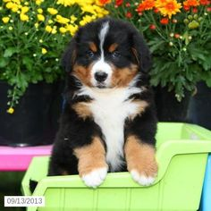 Sparky - Bernese Mountain Dog Puppy for Sale in Mt Joy, PA - Bernese Mountain Dog - Puppy for Sale