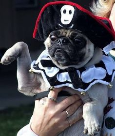 pug pirate || Arg! Fill my bowl or I'll shiver my timbers all over that rug by the front door!