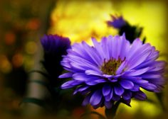 Asters in sumptuous shades of purple and lavender