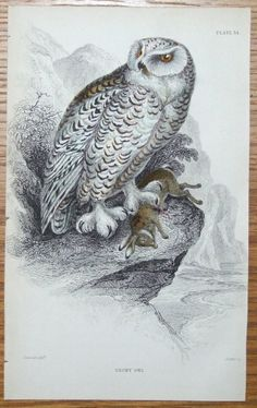 SNOWY OWL Strix nyctea Engraved by William Lizars after Stewart Published Edinburgh 1838 by W H Lizars in Sir William Jardine s Naturalist s Library