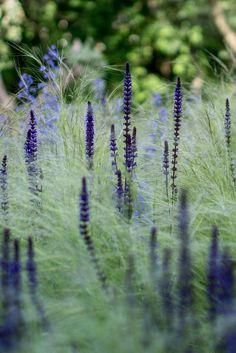 Zartes Federgras 'Ponytails' Stipa tenuissima 'Ponytails', Blüten-Salbei 'Caradonna' Salvia nemorosa 'Caradonna' UND … - All About