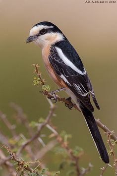 Masked Shrike, Lanius nubicus. It breeds in SE Europe and the eastern end of the Mediterranean, with a separate population in western Iran
