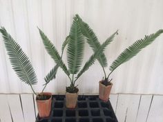 Cold Hardy Palm Cycad Dioon edule (Virgin Palm)