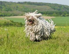 Komondor sheep dog. Does not need a sweater.