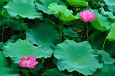 """Lotus flowers in a secluded corner of Slender West Lake in Yangzhou, one of the main tourist attractions of this town. It has gardens, lakes, canals, bridges, waterfalls, bonsai, lotus & lily plants. Taken on a cloudy, overcast day. From Wikitravel:""""Slender West Lake (simplified Chinese: 瘦西湖 pinyin: shòuxīhú) is a well-known scenic spot in Yangzhou,Jiangsu province,China; it is a national park of China."""