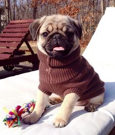 Home of Global Pug Domination - Join The Pugs - Visit us for unstoppable cuteness. Adorable pug and pug puppy cuteness are always featured on Join the Pugs. Baby Animals, Cute Animals, Animals Images, Pugs And Kisses, Baby Pugs, Pug Pictures, Pug Puppies, Terrier Puppies, Boston Terrier