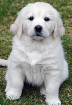 English Golden Retriever Puppy -- A Barkley pup! Maybe I'm biased but I think Bark's cuter. :)