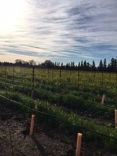 Patz & Hall estate vineyard in Sonoma, California