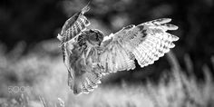 eagle owl on the hunt - eagle owl on the hunt