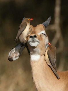 Awww that feels good.... Picking off all the ticks and bugs. What a couple of pals you sre....