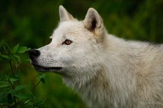 'Arctic Wolf' by WolvesOnly Wolf Background, Arctic Wolf, African Wild Dog, Wolf Stuff, Wolf Pup, Timber Wolf, Wolf Love, Wolf Pictures, Beautiful Wolves