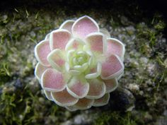 Pinguicula Esseriana