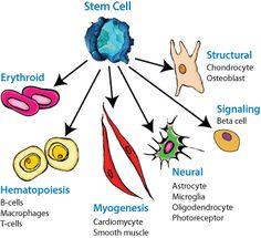 WHAT IS STEM CELLS -Stem cells are mother cells that have the potential to become any type of cell in the body. One of the main characteristics of stem cells is their ability to self-renew or multiply while maintaining the potential to develop into other types of cells. Stem cells can become cells of the blood, heart, bones, skin, muscles, brain etc. There are different sources of stem cells but all types of stem cells have the same capacity to develop into multiple types of cells.