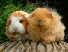 Guinea pig who's perm is better than yours.