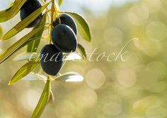 Mediterranean olives