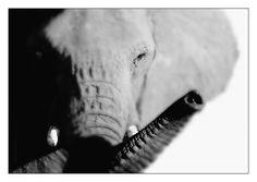 Robby Bolleyn - Elephants - Morning Greetings
