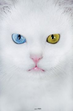 "The Van cat(Turkish:Van kedisi, ""cat of Van"") is a distinctive landrace of domestic cat found mainly in the Lake Van region of eastern Turkey.   It is large, all-white, and frequently odd eyed.An odd-eyed cat is a cat with one blue eye and one eye of either green, yellow, or brown. This is a feline form of complete heterochromia,a condition that occurs in some other animals."