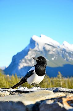 Magpie in Banff National Park