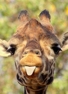 Baby giraffe sticking out his tongue at me when I said, Time to do your homework! Cute Baby Animals, Animals And Pets, Funny Animals, Smiling Animals, Wild Animals, Cute Giraffe, Giraffe Tongue, Giraffe Art, Tier Fotos