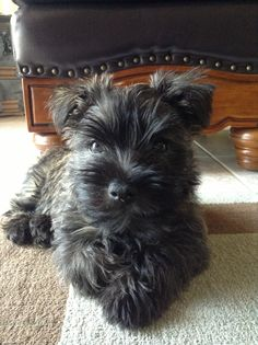 Georgie, our new Cairn Terrier pup. Cute Puppies, Cute Dogs, Dogs And Puppies, Doggies, Dog Pictures, Animal Pictures, Cairn Terrier Puppies, Scottish Terrier, Scottie Dog