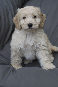 Cockapoodle dooo on pinterest cockapoo puppies puppys and dogs