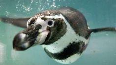 Image copyright                  Getty Images Image caption                                      Una especie de pingüino lleva el nombre de Humboldt.                                No hay nadie en todo el mundo que pueda igualar la lista de lugares, recursos naturales, animales y plantas que llevan el apellido del naturalista alemán Alexander von Humboldt. Y esto es especialmente cierto en América Latina.  La interminable lista incluye des