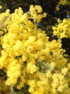 Australian native wattle blossom (their fragrance is one of the true delights of springtime)