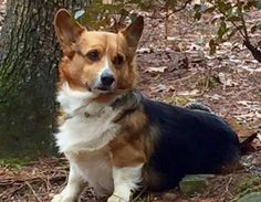 Charles is an adoptable Corgi searching for a forever family near Edisto Island, SC. Use Petfinder to find adoptable pets in your area.