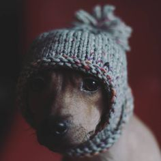 Ready for winter  #winteriscoming #knitted #americanhairless #amerikankarvatonterrieri #carameleyes #50mmlens #pentaxlens #pupstagram #puppyeyes #dogsofvasa #dailypuppy #winter #readyforwinter #nakeddog #ratterierofinstagram #brindleterrier #ratterrierworld