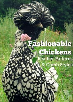 Chickens come in all shapes, sizes, and colors. Learn to identify breeds by their comb and feather patterns. You'll be a chicken expert in no time at all.