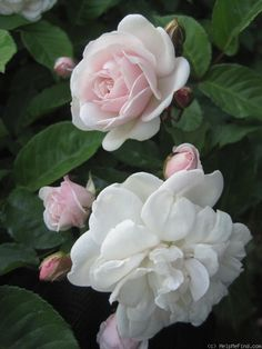 'Marie Pavie' | Patio, Polyantha Rose. Alphonse Alégatière, 1888