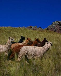 alpaca images - Google Search