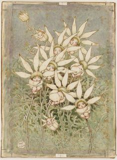 Flannel flower babies, watercolour drawing by May Gibbs. From the collections of the Mitchell Library, State Library of New South Wales www. Victorian Illustration, Botanical Illustration, Botanical Art, Flannel Flower, Watercolor Drawing, Big Flowers, Vintage Children's Books, Faeries, Line Drawing