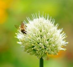 Make an ancient Greek style honey bee garden: Saving the honeybee is important — unless you plan on starving. They need our help. One   way to help them is for each of us to do our part in providing plants  and a proper environment for honey bees, by planting a honey bee garden as ancient Greeks often did.