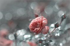 Uta Naumann - A rose is a rose- Rose im zeitigen Gegenlicht