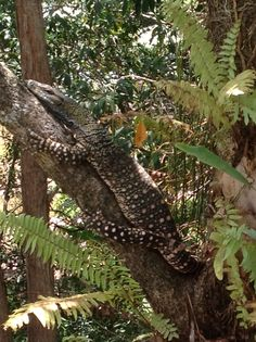 Lace Monitor in my Garden